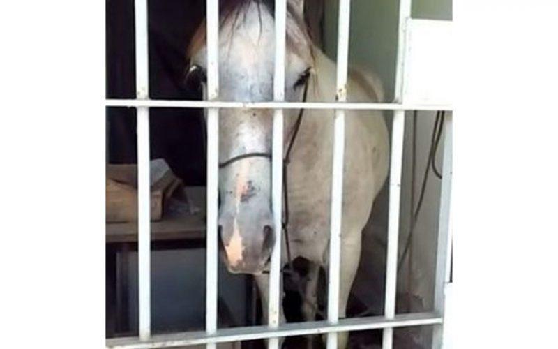 Insólito: Cavalo dá coice num carro e acaba detido