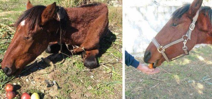 Denúncia nas redes sociais salva égua à beira da morte em Sintra
