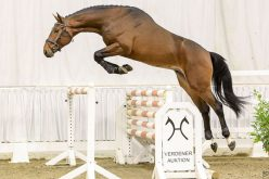Verden Auction: 105 riding horses and 10 stallions go under the hammer – January 2018