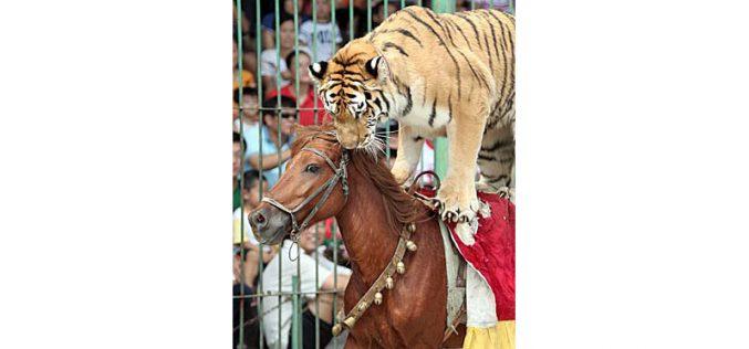 Leoa e tigre atacam cavalo em circo chinês (VÍDEO)