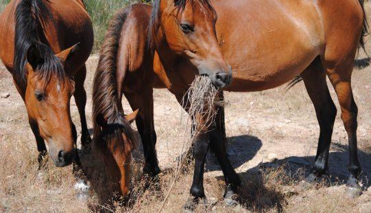 Câmara de Lagos vende 12 cavalos abandonados