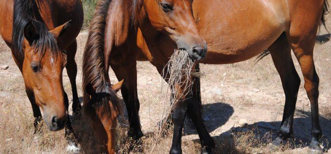 Autarquia sorteia 5 cavalos resgatados