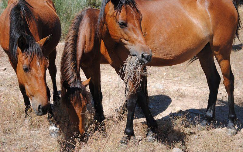 Câmara de Terras de Bouro resgata cinco cavalos e vai leiloá-los