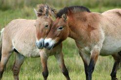 Estudo revela que não existem cavalos selvagens no planeta (VÍDEO)