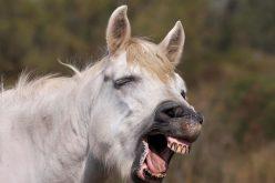 Cavalos entendem emoções humanas – e lembram-se de humanos mal-humorados…