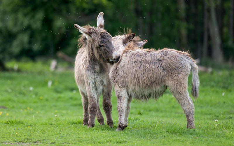 Estudo genético esclarece o que separa o cavalo do burro