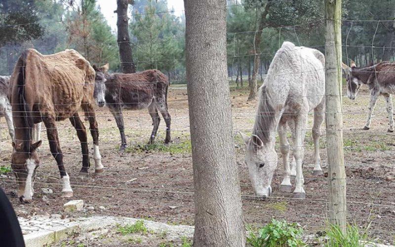 Cavalos a morrer à fome no Seixal