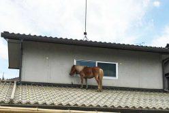Pónei sobe ao telhado para escapar às cheias mortíferas do Japão