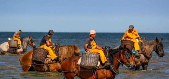 Camarão pesca-se a cavalo: prática medieval resiste na Bélgica