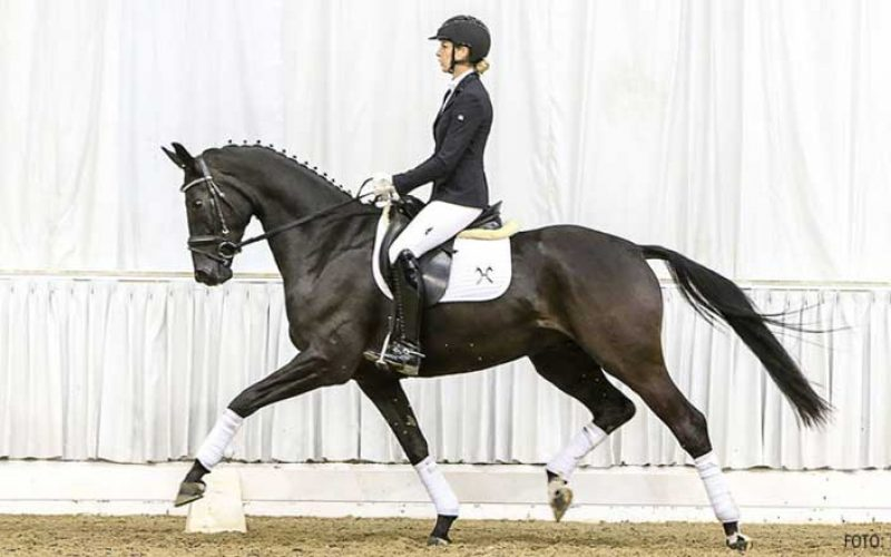 Leilão de Cavalos de desporto – 10 de Novembro (VÍDEO)