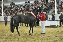 15 new licensed stallions for Hannover