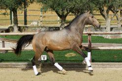 Festival Internacional do Cavalo Lusitano 2019 – Apresentação de cavalos com guia