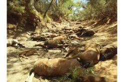 Cavalos selvagens morrem devido à seca na Austrália