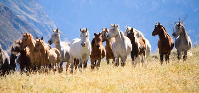 EUA paga mil dólares a quem adoptar cavalos selvagens