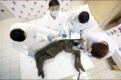 Cientistas vão clonar cavalo com mais de 42 mil anos