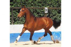 Regulamento do Prémio ao Melhor Lusitano de Provas de Cavalos Novos 2019