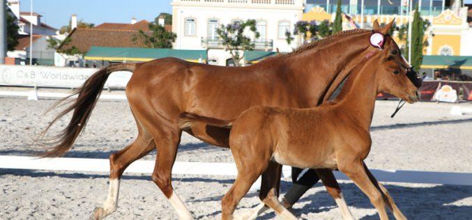 A Funcionalidade do Cavalo Luso-Árabe