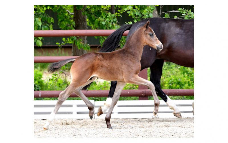 «For The Best» 37,000 Euros price highlight of the 6th Schockemöhle Online Foal Auction