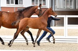 6th online foal auction of the stallion station Schockemöhle is online (VIDEO)
