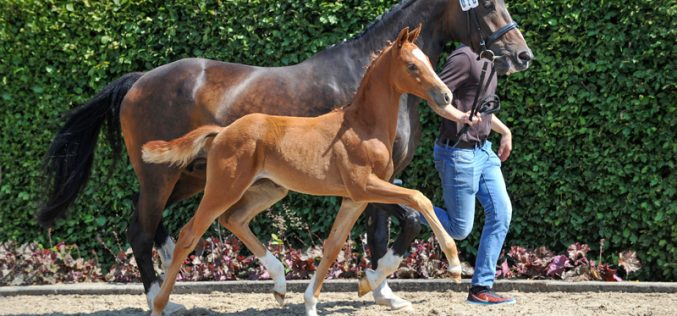 Champion foal by For Romance I OLD