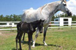Nasceu «Lisa» primeiro equino fruto de um embrião criopreservado em Portugal