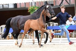 7. online foal auction of the stallion stations Schockemöhle and Helgstrand started