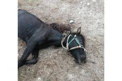 """Cavalo foi abandonado """"ferido e subnutrido"""" na Marinha Grande"""