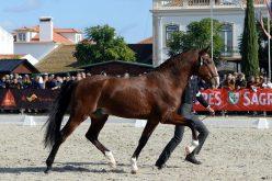Feira Nacional do Cavalo 2019: Dia dedicado ao Cavalo Lusitano e aos Criadores