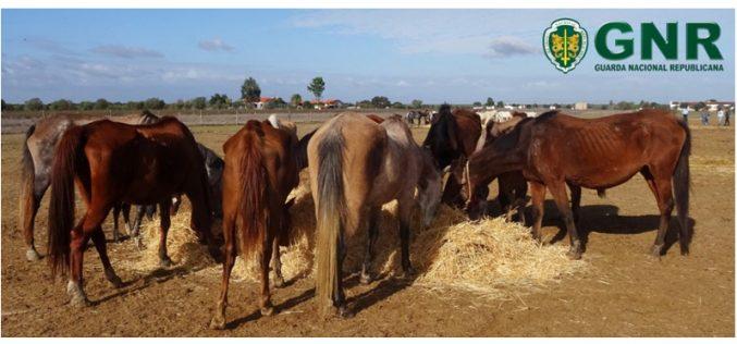 Mais de 100 cavalos apreendidos pela GNR