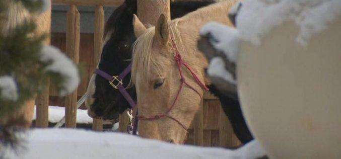 Acusados de maus tratos por arrastar cavalo preso a uma carrinha (VÍDEO)