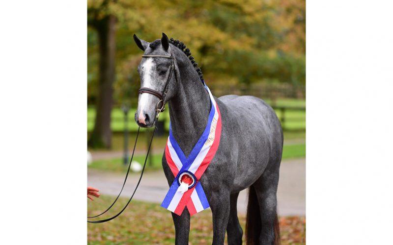 «Cahil» campeão Holstein na aprovação em Neumünster