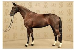 40º Leilão PSI de cavalos Saltos e Dressage em Ankum