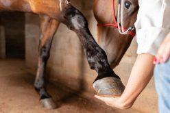 Os cavalos perdem quatro dedos no útero