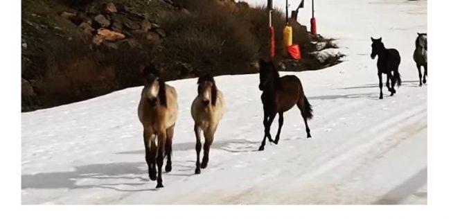 Cavalos invadem pista de esqui na Serra Nevada (VÍDEO)