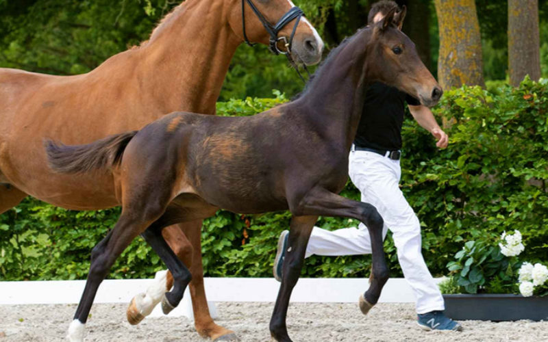 Netstutteriets Fascination from full sister to Sezuan auctioned for 60,000 Euros