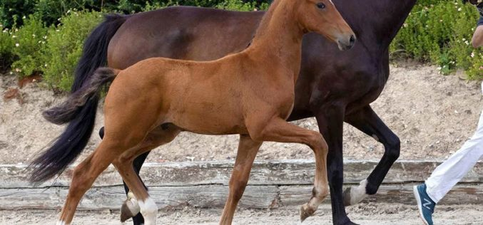 Valuable, Top Seller of Last Schockemöhle / Helgstrand Online Foal Auction