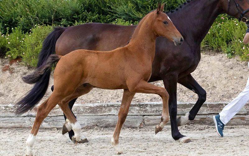Valuable, Top Seller of Last Schockemöhle / Helgstrand Online Foal Auction