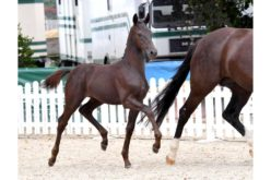 3rd Schockemöhle Helgstrand online foal auction starts