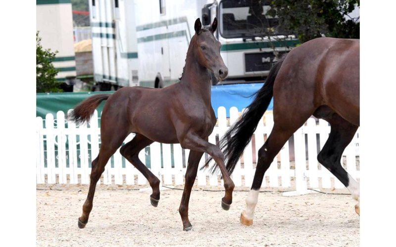 3rd Schockemöhle Helgstrand online foal auction starts