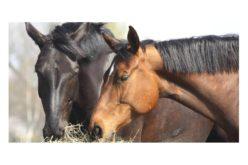Peste Equina Africana: Macau suspende importação de cavalos oriundos da Malásia