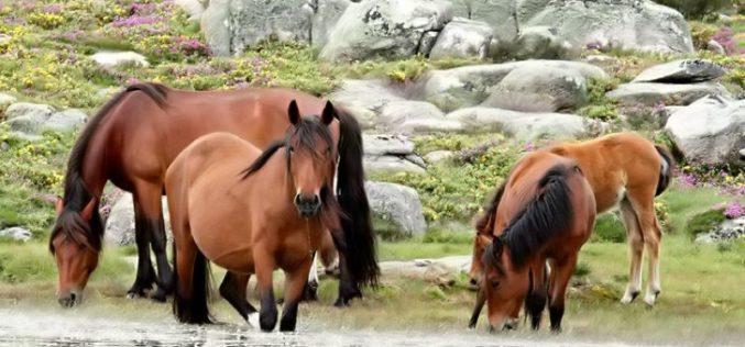 Despiste contra cavalos em Paredes de Coura