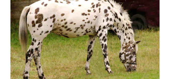 Cavalos malhados da gruta de Pech Merle
