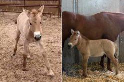Poldro clone do cavalo de Przewalski pode ajudar a salvar a espécie (VÍDEO)