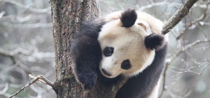 Cientistas descobrem porque razão pandas gostam de se esfregar em fezes de cavalo…