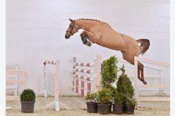 PS Auction Online 2021: 1º leilão de poldros de saltos rendeu quase meio milhão de euros (VÍDEO)