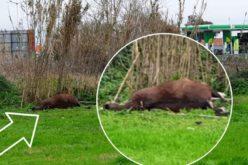 Moita: Está um cavalo morto há mais de 24 horas e a céu aberto