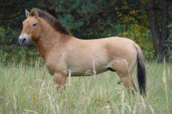 Cavalos de Przewalski prosperam na área contaminada pela radiação