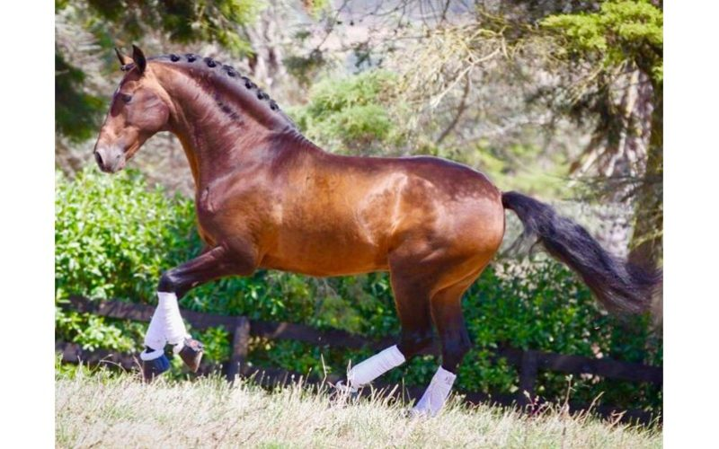 WBFSH: «Rubi AR» no Top 50 do Ranking Mundial de Garanhões de Dressage