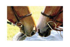 Herpes Vírus Equino: Há cinco casos de EHV-1 no Luxemburgo