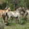 Vale Carapito recebeu dez cavalos Sorraia (VÍDEO)